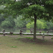 Royal City Geese