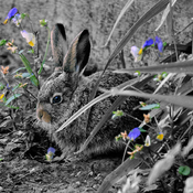 Baby jack rabbit season new update.