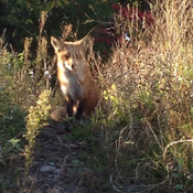 Fox in Laval