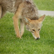 Coyote in my front yard in Edmonton