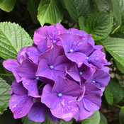 Time for hydrangea