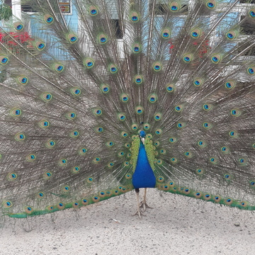 Peacock in full attire..