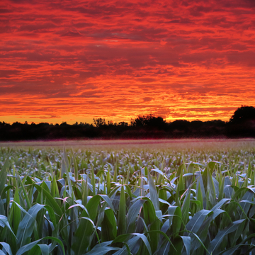 Sunrise on cornfield