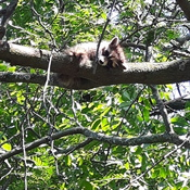 raccoon resting in my tree