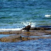 Eagle in surf near Rocky Harbour NFLD.