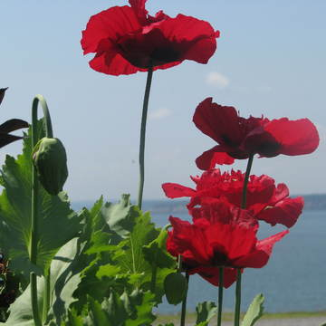 Poppies in the landscape