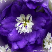 One Delphinium flower