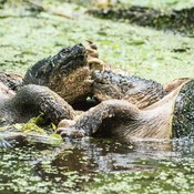 Fighting Snapping Turtles