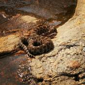 franklin island rattle snake
