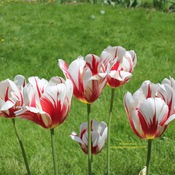 Canada 150 Commemorative Tulips