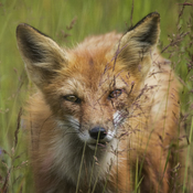 Red Fox - My old friend