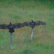 turkey vultures/buzzards