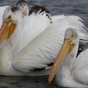 Fun with Pelicans
