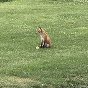 Fox watching golfers