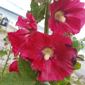 Shoreline hollyhocks