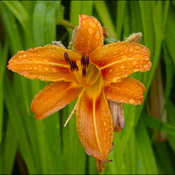 Wet tiger lily, Elliot Lake.