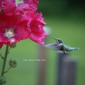 Hummer in the hollyhocks!