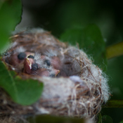 Baby Goldfinches