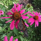 Monarch on cornflower in The Children's Garden at Toronto Botanical Garden