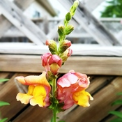 blooming Snapdragons from my garden