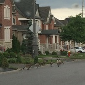 Geese came for a walk -:)