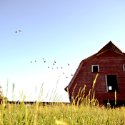 Birds in flight. Red Barn.
