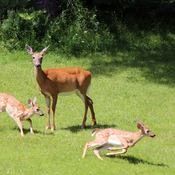 Doe and two fawns