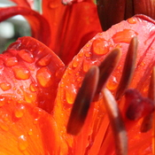 Raindrops and a Lily