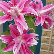 Beautiful lillies