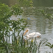 Pelican at Beaumaris Lake