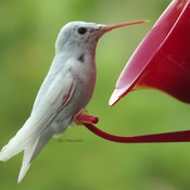 Rare White Hummingbird