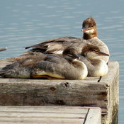 Female merganser and her young