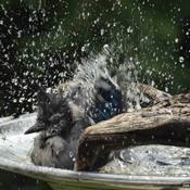 Splish & Splash tout en prenant un bain.............
