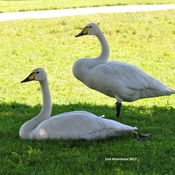 The Royal swans