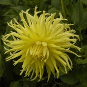 dahlia growing is fun