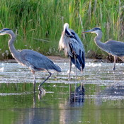 Blue Herons in Baddeck Bay