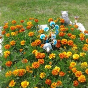 beautiful Marigolds planted from seeds....