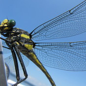 Miss Dragonfly came to vist