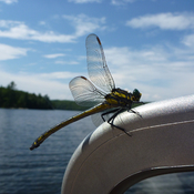 Dragonfly on the boat