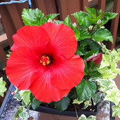 This flower Hibiscus just opened.