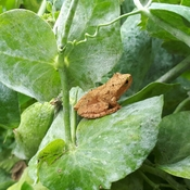 tree frog in the pea patch