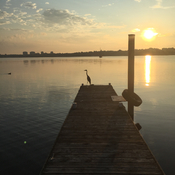 Heron on the dock at sunrise