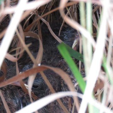 Fledgelings IN Hidden Nest