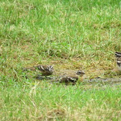 Gathering of White Crowned Sparrows