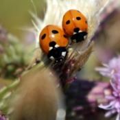 Wondering where all the Ladybugs are? Look for bugs and thistle.