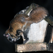 Northern flying squirrel.