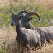Big horn sheep couple