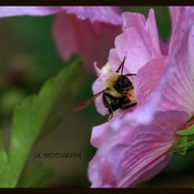 Rose of Sharon Visitor