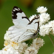 Pine White butterfly