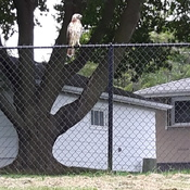 hawk sitting on fence